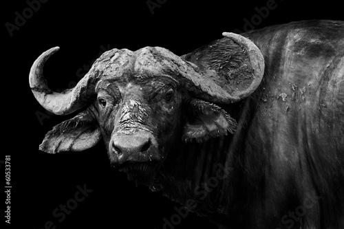 Buffalo w czerni i bieli