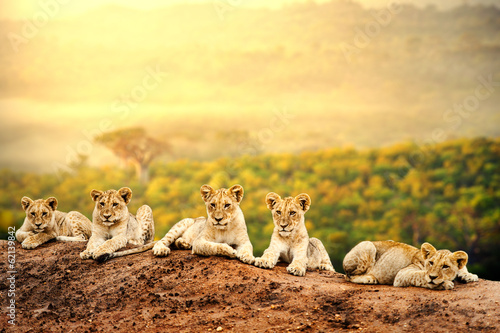 Lion cubs waiting together.