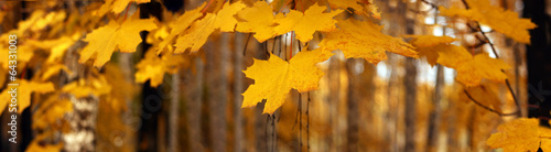 Yellow autumn maple leaves, panorama, banner - yellow leaves on the background of a park, closeup with space for text