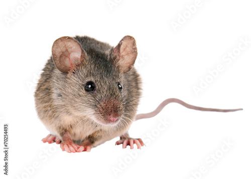 Mysz polna. odosobniony. mysz polowa w paski