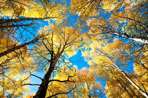 drzewa osiki