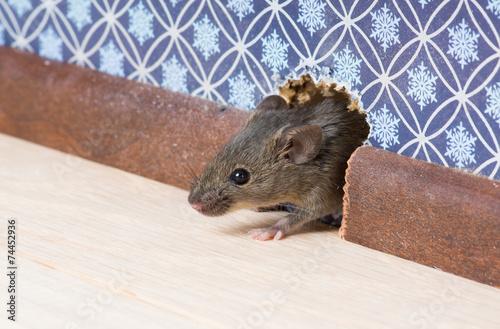 Zwykła mysz domowa wychodzi z norek w ścianie
