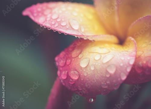 kropla wody na płatku Plumeria kwiat w stylu retro