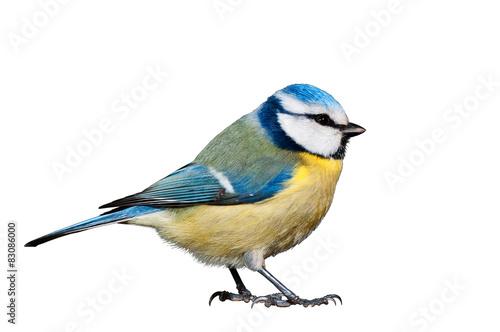 Blue tit isolated on white background
