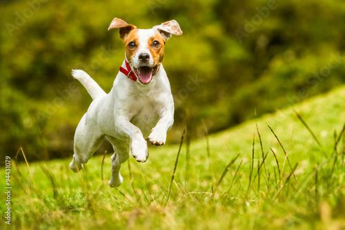 dog happy run russel jack jump pet cute terrier play summer joyful hound racing to the camera mid angle high speed shot dog happy run russel jack jump pet cute terrier play summer hound smiling lovel
