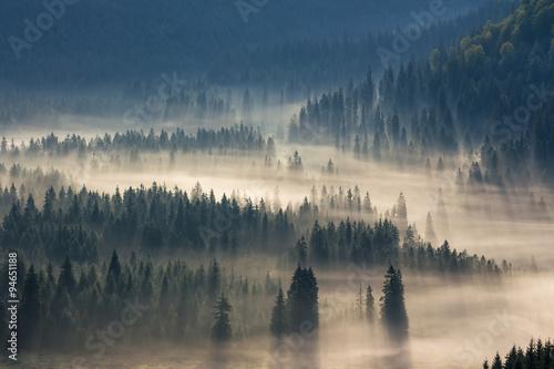 świerki w dół wzgórza do lasu iglastego we mgle o wschodzie słońca