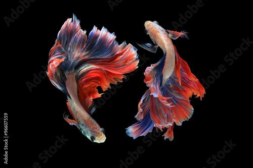 Podwójna betta ryba odizolowywająca na czarnym tle. (Maskotka podwójny ogon) Ballerina betta fish