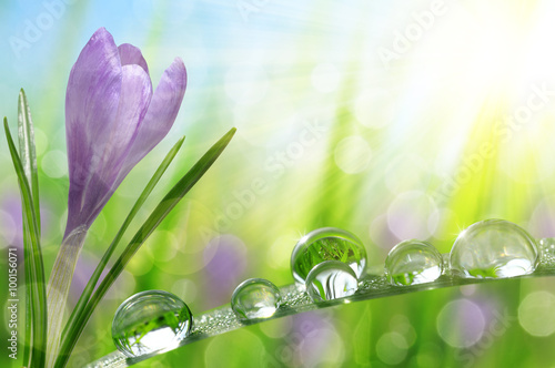Spring flower Crocus and green grass with water drops. Nature background.