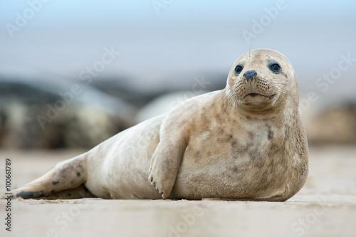 Atlantic Grey Seal Pup (Halichoerus Grypus) / Atlantic Grey Seal Pup na piaszczystej plaży