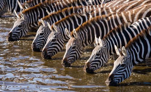 Grupa zebry woda pitna od rzeki. Kenia. Tanzania. Park Narodowy. Serengeti. Masajowie Mara. Doskonała ilustracja.