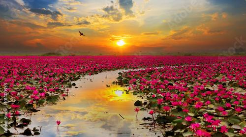 Światło słoneczne powstający lotosowy kwiat w Tajlandia