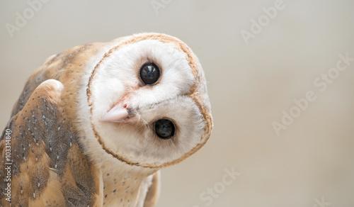 płomykówka zwyczajna (Tyto albahead) z bliska
