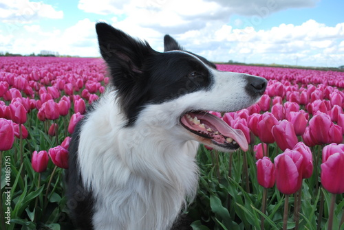 Border collie in a field of tulips in the Netherlands
