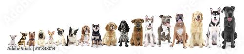 Osiemnaście siedzących psów w rzędzie, od małych do dużych, na białym tle