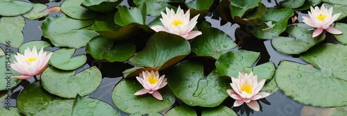 piękne kwiaty lilii na wodzie