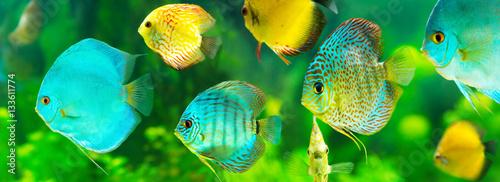 kolorowa tropikalna ryba dyskowata
