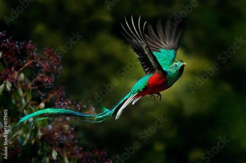 Latający znakomity Quetzal, Pharomachrus mocinno, Savegre w Kostaryce, na zielonym tle lasu. Wspaniały święty święty zielony i czerwony ptak. Chwila akcji z Resplendent Quetzal. Obserwowanie ptaków