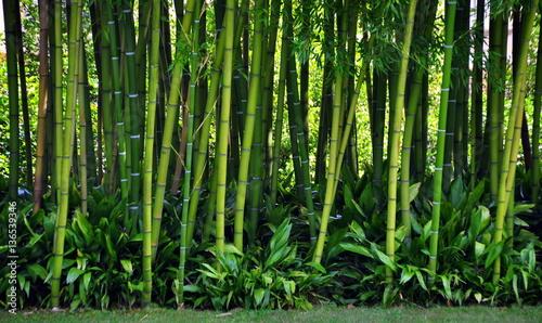 Dicker grüner Bambus
