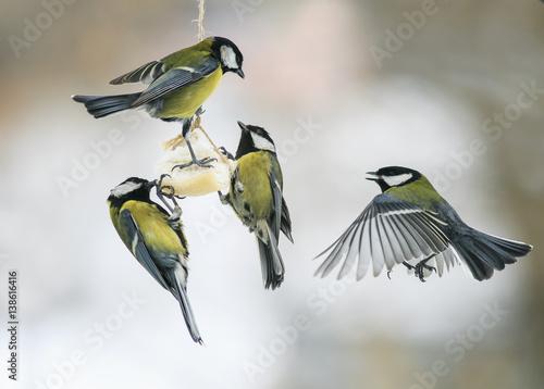 małe głodne ptaki Cycki na karmniku dla ptaków jedzące tłuszcz