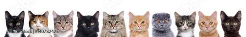 portret zbliżenie grupy kotów różnych ras siedzi w linii izolowanych na białym tle