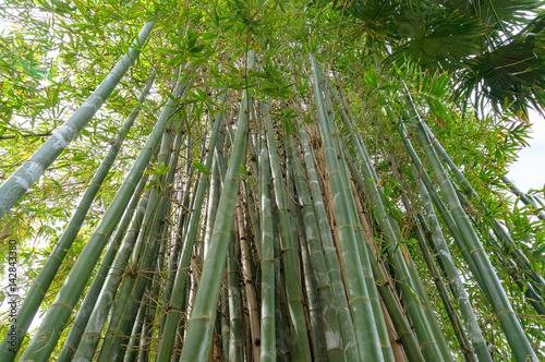 Looking up at green long bamboo shoots