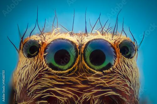 Ekstremalne powiększenie - portret pająka skokowego, widok z przodu