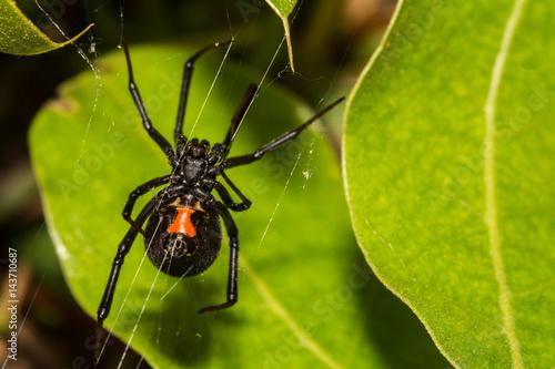 Czarna Wdowa pająk