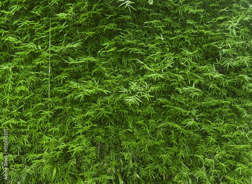 Bujny zielony bambusowy tło