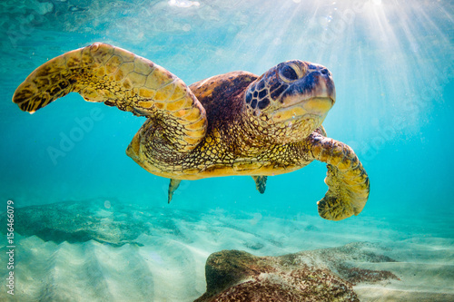 Zagrożony hawajski żółw morski zielony płynie w ciepłych wodach Oceanu Spokojnego na Hawajach.