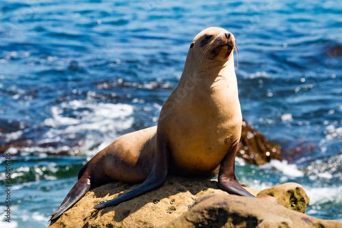A California sea lion (Zalophus californianus) sunning himself on a rock at La Jolla Cove in San Diego County.