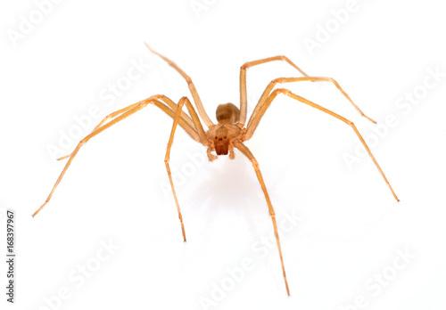 Brązowy pająk pustelnik