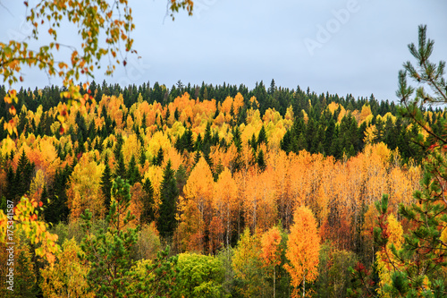 Żółci i zieleni drzewa w jesień lesie, Karelia, Rosja.