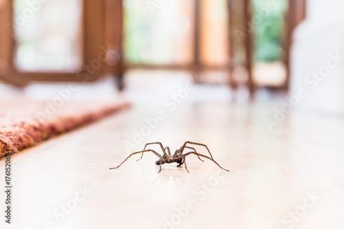 pająk domowy na gładkiej podłodze z płytek, widziany z poziomu gruntu w kuchni w domu mieszkalnym
