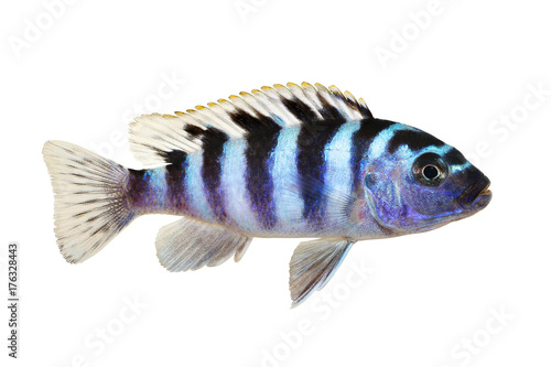 Kenyi or Kennyi cichlid Maylandia lombardoi aquarium fish