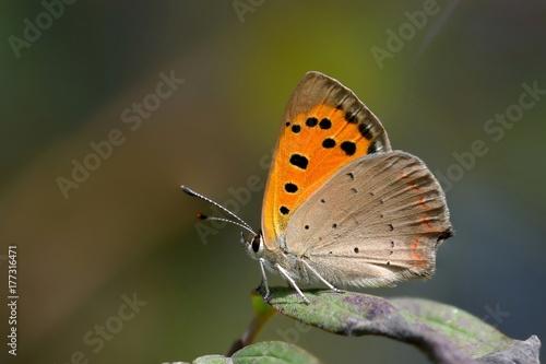 Motyl układany na liściach Lycaena