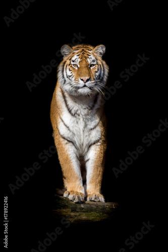 Tygrys na czarnym tle