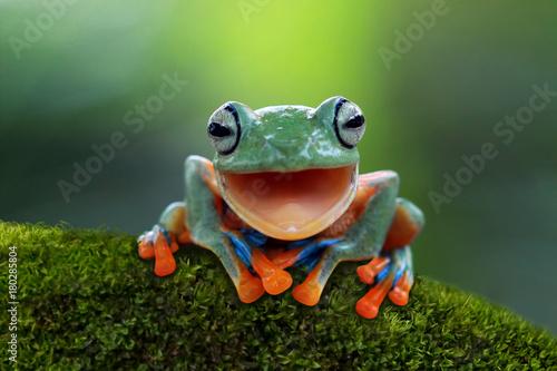 Rzekotka, śmiejąca się latająca żaba