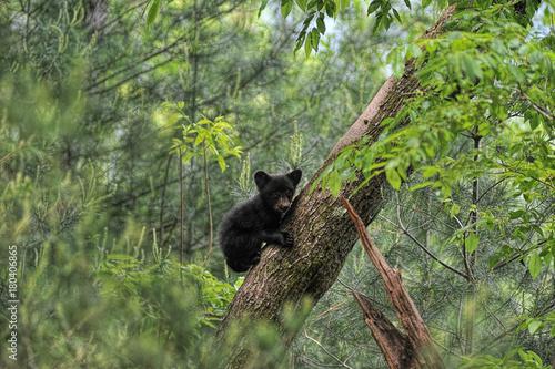 Wspinaczkowy niedźwiadkowy wspinaczkowy przyglądający drzewo