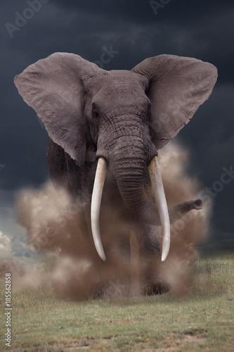 Ataki byka słonia afrykańskiego, Loxodonta africana
