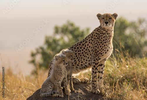 Gepard i młode na wierzchowcu