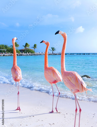Pink flamingo walking on the beach