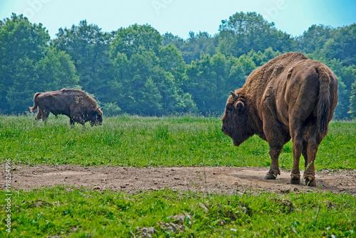 dwa byki na polanie