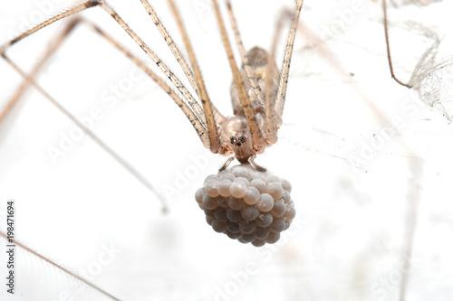Cellar spiders or long legged Spider with her eggs in Thailand and Southeast Asia.