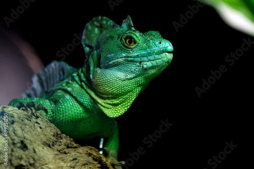 Legwan zielony z bliska portret patrzy na Ciebie