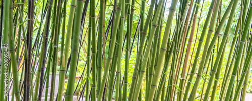 Green bamboos panoramic background