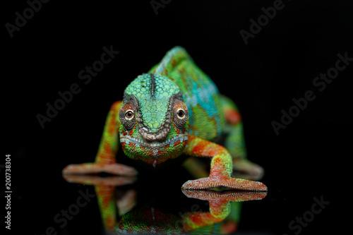 żywy gad kameleona