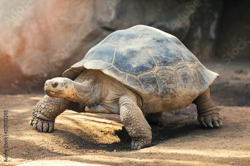 Żółw Galapagos