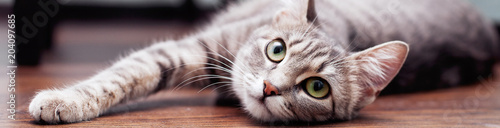 Szary puszysty kot jest. Pojęcie zwierząt domowych. Baner na stronę internetową.