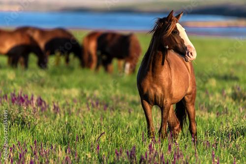 Dzikie konie pasą się na nasłonecznionej łące