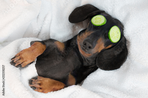 dog dachshund, black and tan, relaxed from spa procedures on face with cucumber, covered with a towel
